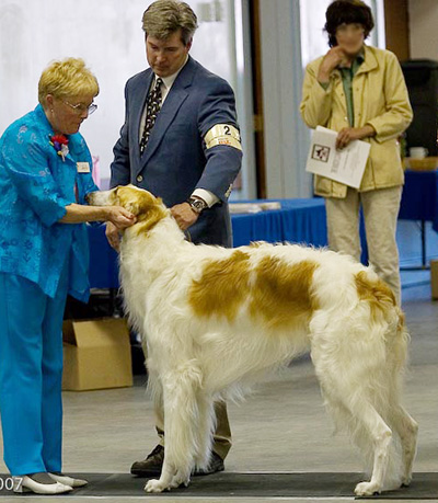 Examining a Borzoi in Conformation